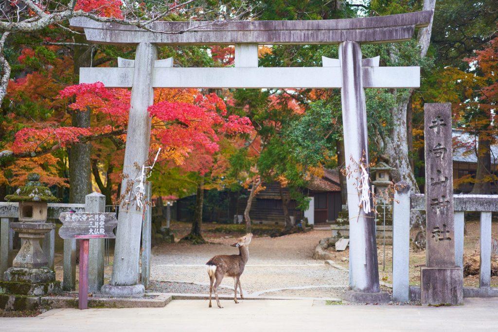 Nara cervi