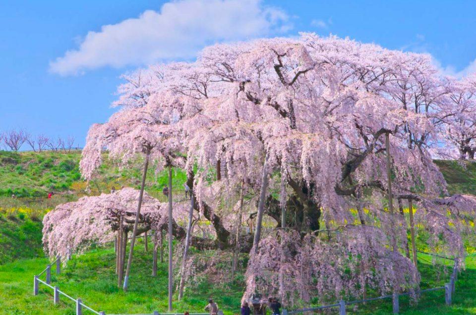 Hanami, l'osservazione dei ciliegi in fiore